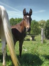 Hermes-un-mois-ecuries-des-perrelles-la-vacquerie