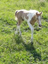Joli bébé Idaho - Ecuries des Perrelles - La Vacquerie